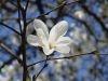 magnolie-z-julianowa