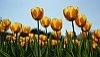 wsrod-tulipanow