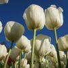 w-krainie-tulipanow